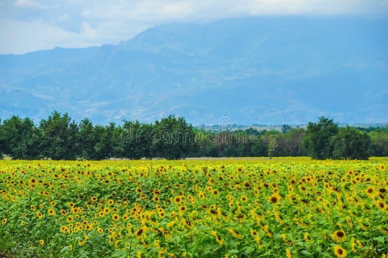 Zonnebloemenaanplanting met bergachtergrond royalty-vrije stock afbeelding