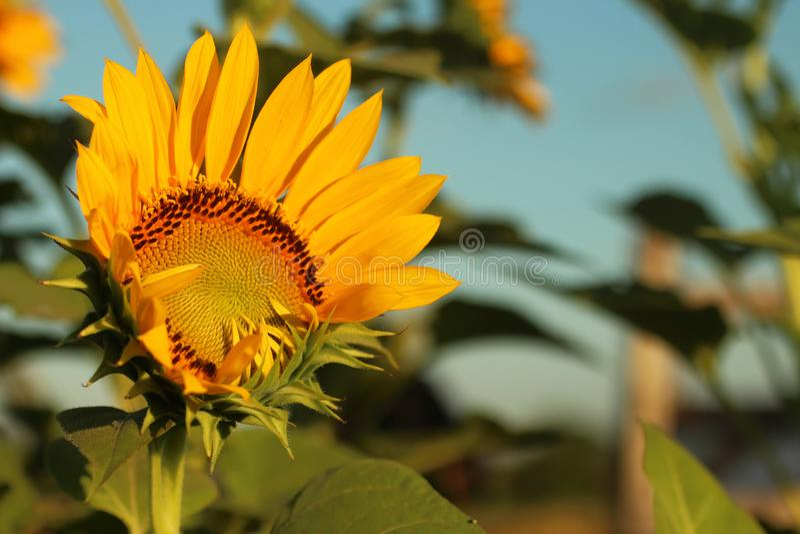 Zonnebloemenbloesem in de tuin Zomer, zonnebloem in bloei met bladeren en blauwe hemelachtergrond stock foto
