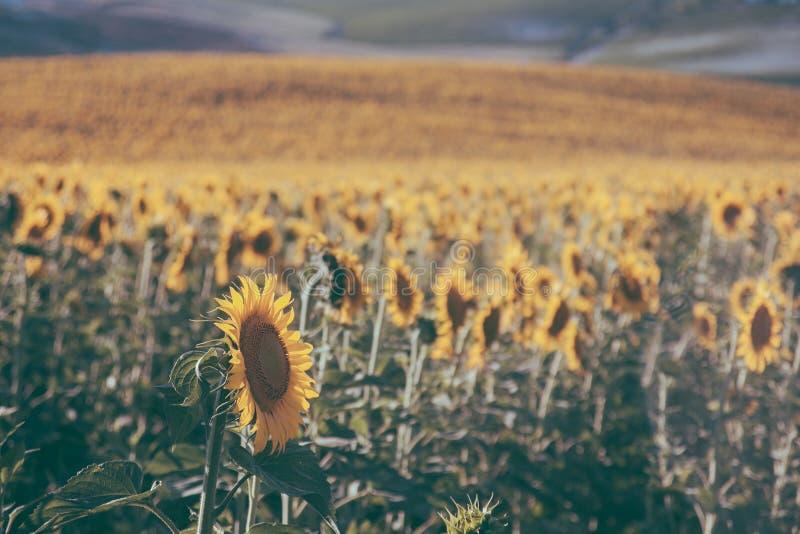 Zonnebloementextuur en achtergrond voor ontwerpers De achtergrond van het zonnebloemengebied in uitstekende stijl Macromening van stock foto
