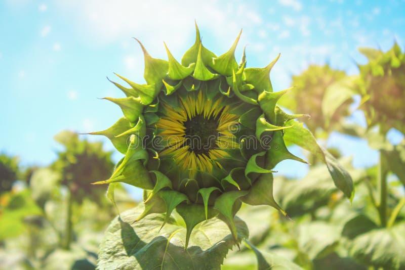 Zonnebloementextuur en achtergrond voor ontwerpers Macromening van zonnebloem in bloei Organische en natuurlijke bloemachtergrond royalty-vrije stock foto's