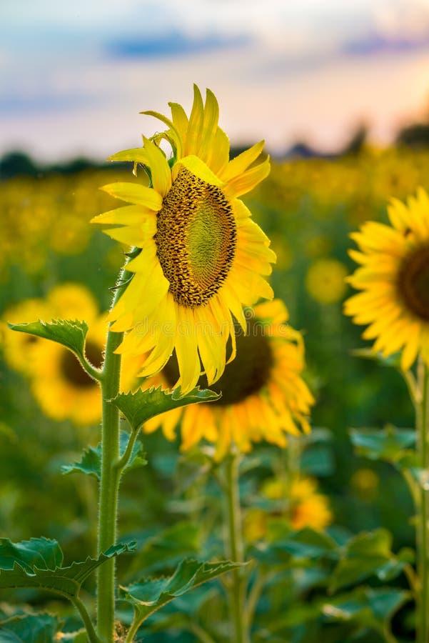 Zonnebloementextuur en achtergrond voor ontwerpers Macromening van zonnebloem in bloei Organische en natuurlijke bloemachtergrond royalty-vrije stock afbeelding
