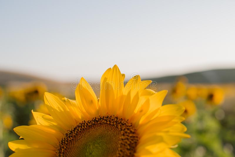 Zonnebloementextuur en achtergrond voor ontwerpers Macromening van zonnebloem in bloei Organische en natuurlijke achtergrond stock foto's