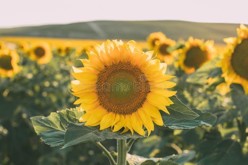 Zonnebloementextuur en achtergrond voor ontwerpers Macromening van zonnebloem in bloei Organische en natuurlijke achtergrond royalty-vrije stock foto