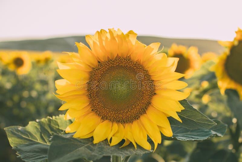 Zonnebloementextuur en achtergrond voor ontwerpers Macromening van zonnebloem in bloei Organische en natuurlijke achtergrond royalty-vrije stock afbeelding