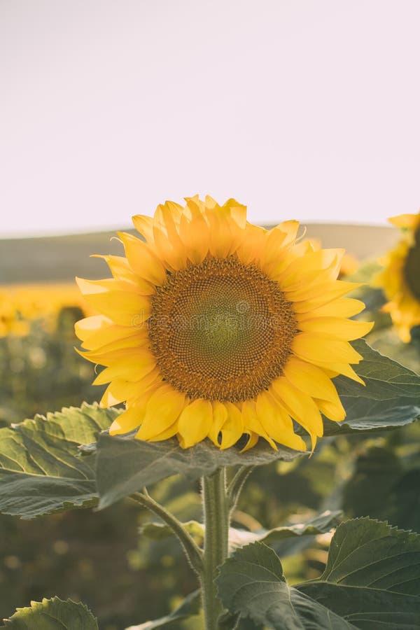 Zonnebloementextuur en achtergrond voor ontwerpers Macromening van zonnebloem in bloei Organische en natuurlijke achtergrond stock afbeelding