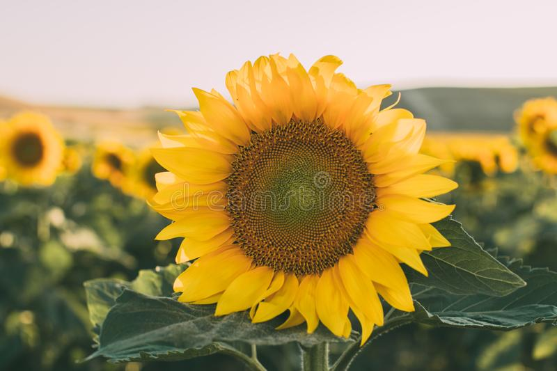 Zonnebloementextuur en achtergrond voor ontwerpers Macromening van zonnebloem in bloei Organische en natuurlijke achtergrond royalty-vrije stock fotografie