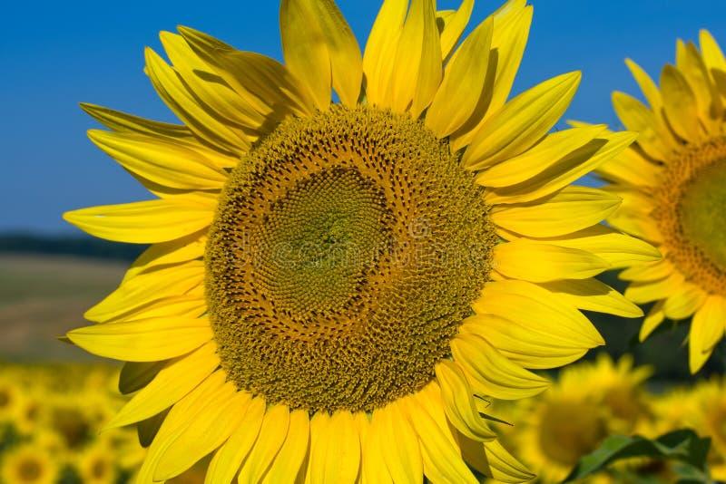 Zonnebloemgebied stock afbeeldingen