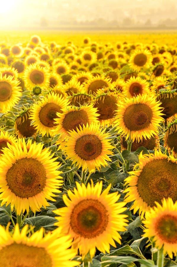 Zonnebloemgebied bij zonsondergang stock fotografie