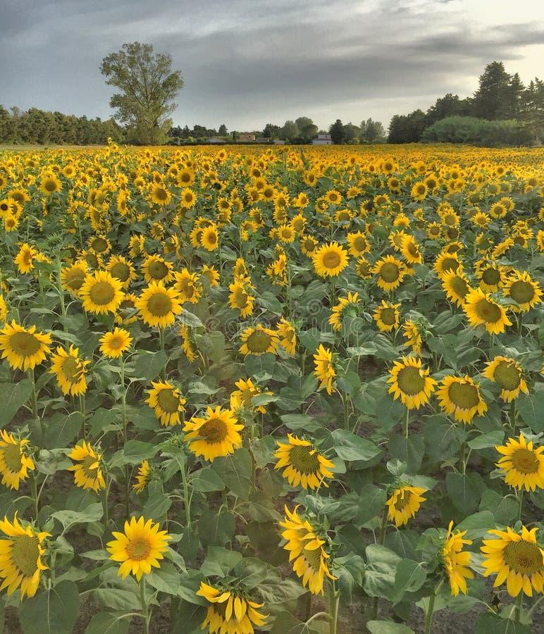 Zonnebloemgebied in de Provence, Zuiden van Frankrijk royalty-vrije stock foto's