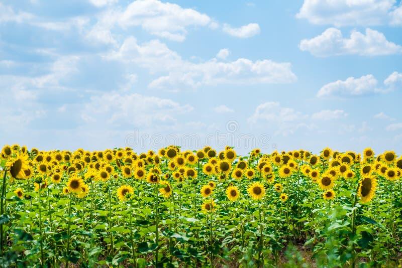 Zonnebloemgebied en een blauwe hemelachtergrond stock afbeeldingen