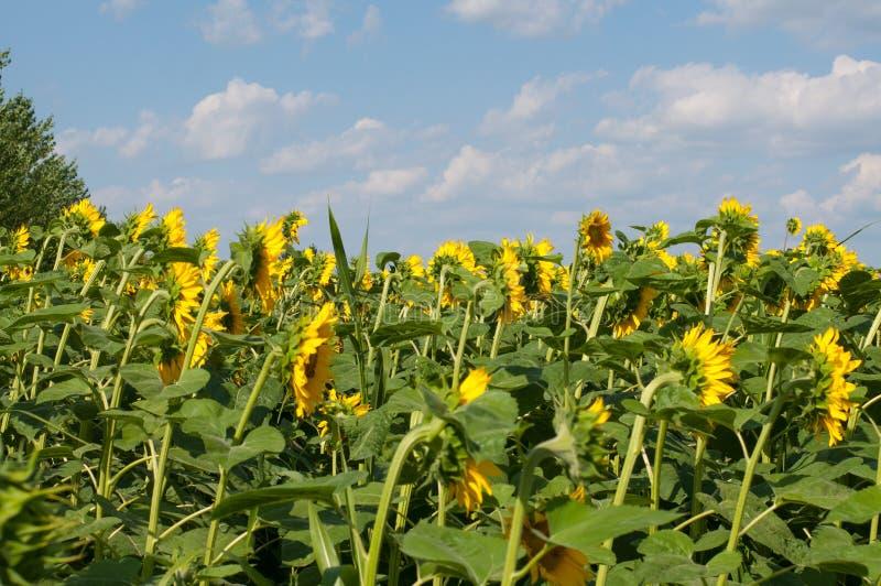 Zonnebloemgebied en mooie blauwe hemel De natuurlijke achtergrond van de zonnebloem stock foto