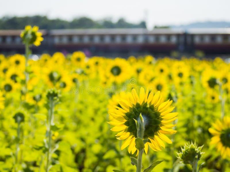 Zonnebloemgebied en oude trein stock foto