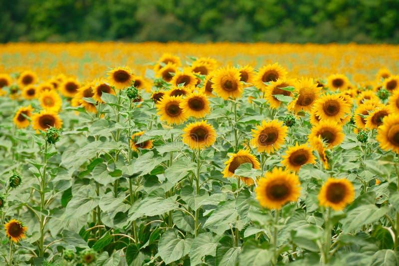 Zonnebloemgebied - heldere gele bloemen, mooi de zomerlandschap stock afbeeldingen