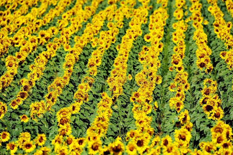 Zonnebloemgebied in juli royalty-vrije stock foto's