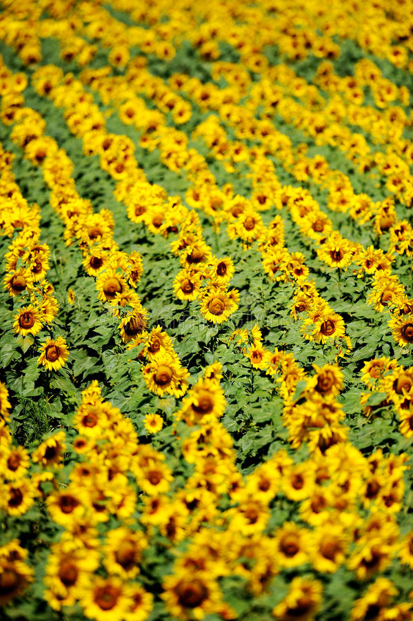 Zonnebloemgebied in juli royalty-vrije stock fotografie