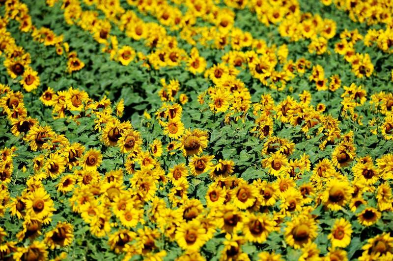 Zonnebloemgebied in juli royalty-vrije stock foto
