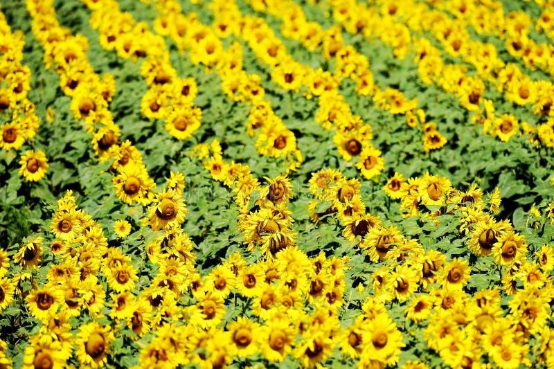 Zonnebloemgebied in juli royalty-vrije stock afbeelding