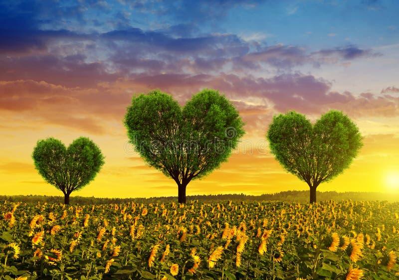Zonnebloemgebied met bomen in de vorm van hart bij zonsondergang stock afbeelding