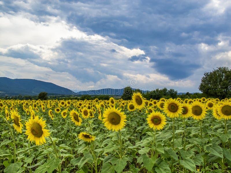 Zonnebloemgebied onder dramatische hemel royalty-vrije stock afbeelding