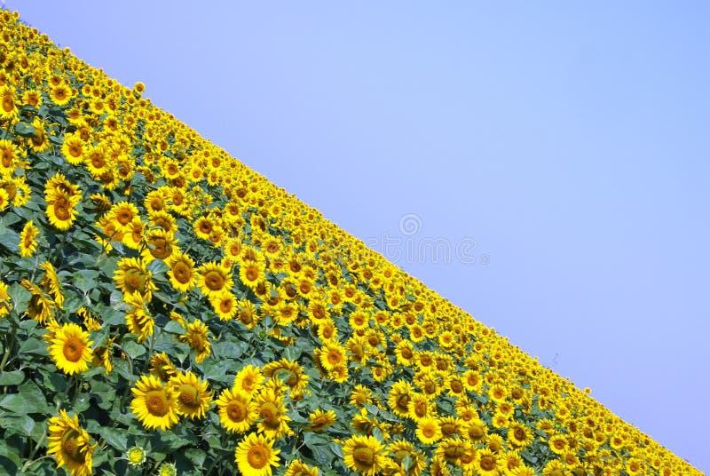 Zonnebloemgebied op een duidelijke de zomerdag stock foto's