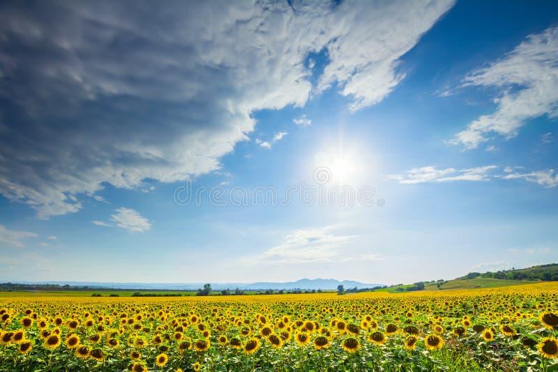 Zonnebloemgebied op een zonnige dag stock afbeeldingen