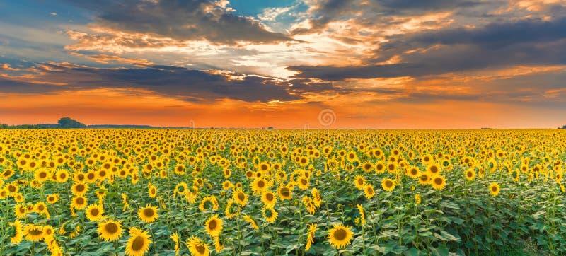 Zonnebloemgebied op zonsondergang Het mooie panorama van het aardlandschap De idyllische scène van het landbouwbedrijfgebied stock foto's