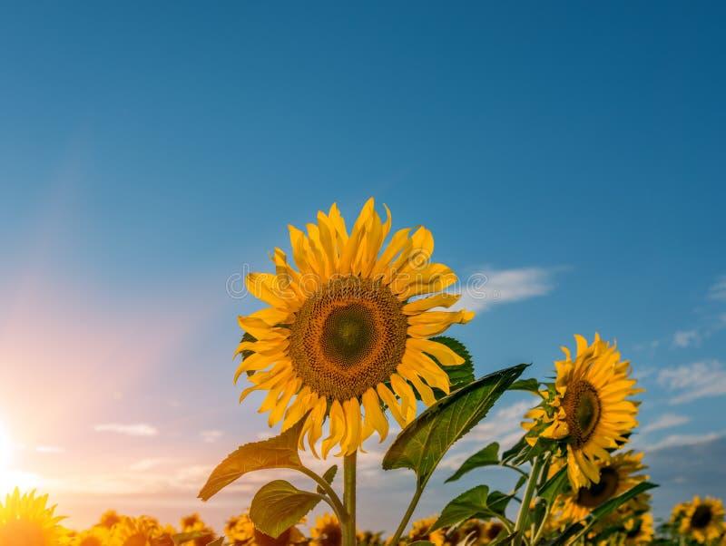 Zonnebloemgebied over bewolkte blauwe hemel en heldere zonlichten stock foto