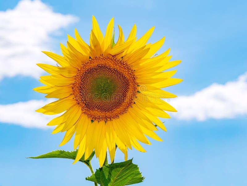 Zonnebloemgebied over bewolkte blauwe hemel en heldere zonlichten stock afbeeldingen