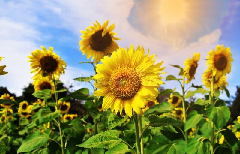 Zonnebloemgebieden en duidelijke hemel royalty-vrije stock afbeelding