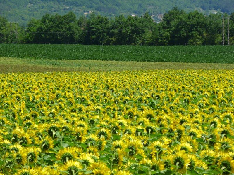 Zonnebloemgebieden, Lot-et-Garonne, FRANKRIJK stock fotografie
