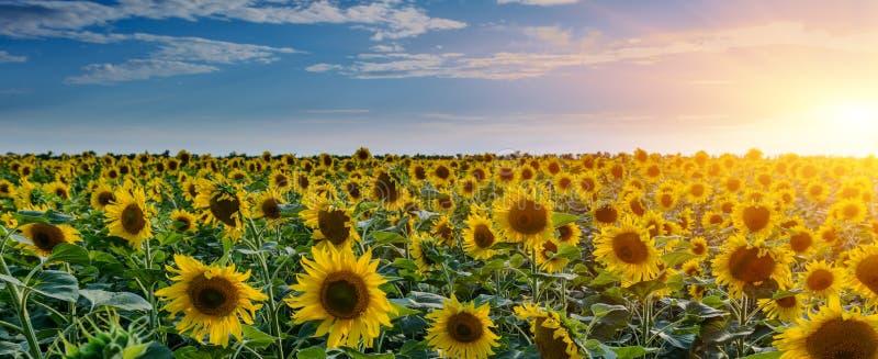 Zonnebloemgebieden tijdens zonsondergang Digitale samenstelling van een zonsopgang over een gebied van gouden gele zonnebloemen stock afbeeldingen
