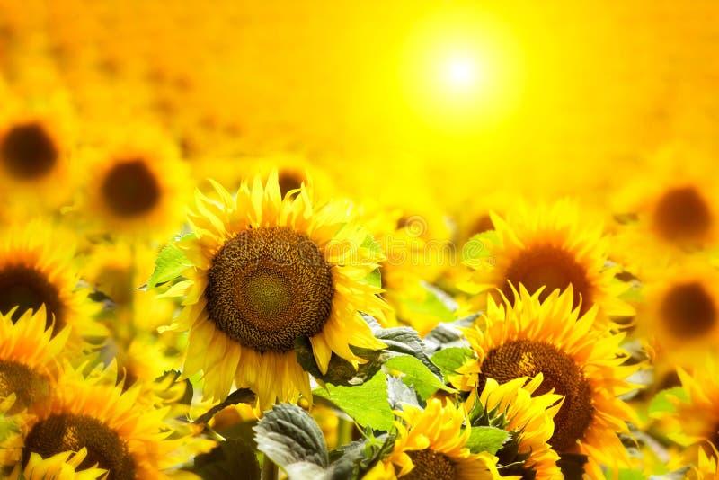 Zonnebloemgebieden tijdens zonsondergang Mooie samenstelling van een zonsopgang over een gebied van gouden gele zonnebloemenachte royalty-vrije stock afbeelding