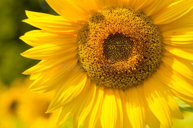 Zonnebloemhoofd op zonovergoten gebied stock afbeeldingen