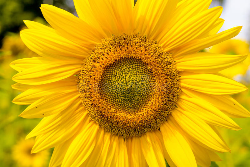 Zonnebloemhoofd op zonovergoten gebied royalty-vrije stock afbeeldingen