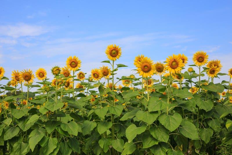 Zonnebloemlandbouwbedrijf stock afbeelding