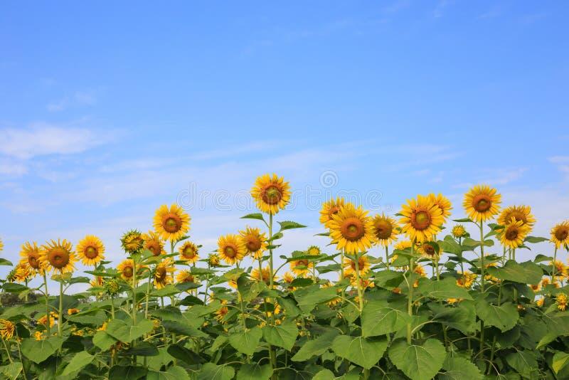 Zonnebloemlandbouwbedrijf stock fotografie
