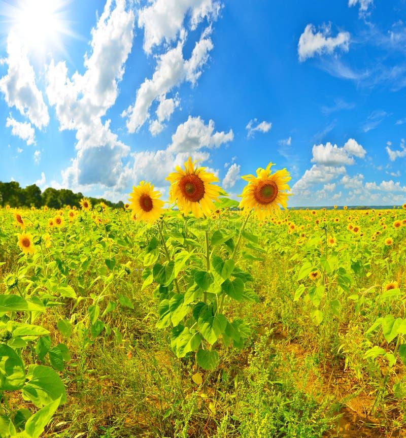 Zonnebloemtrio stock afbeeldingen