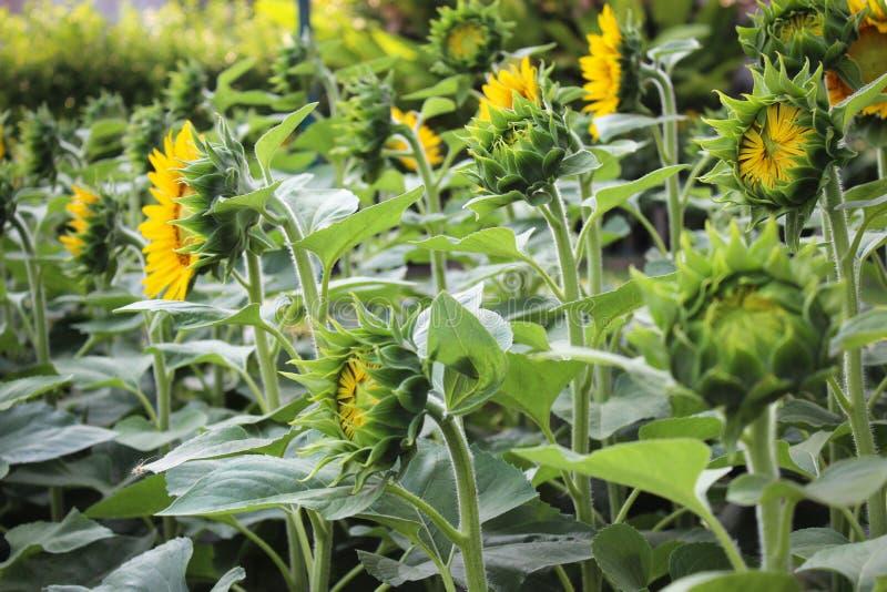 Zonnebloemtuin De zonnebloem heeft vele gezondheidsvoordelen De zonnebloemolie verbetert huidgezondheid en bevordert celregenerat stock afbeelding