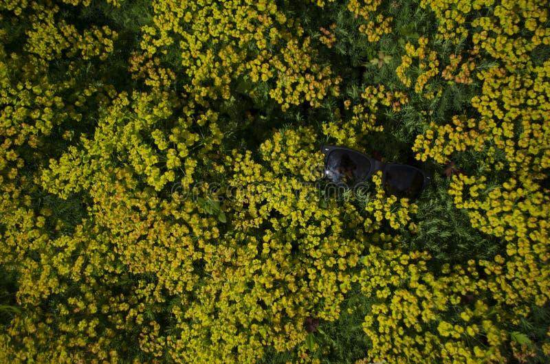 Zonnebril in de gebieds gele bloemen - Achtergrond, Behang royalty-vrije stock foto