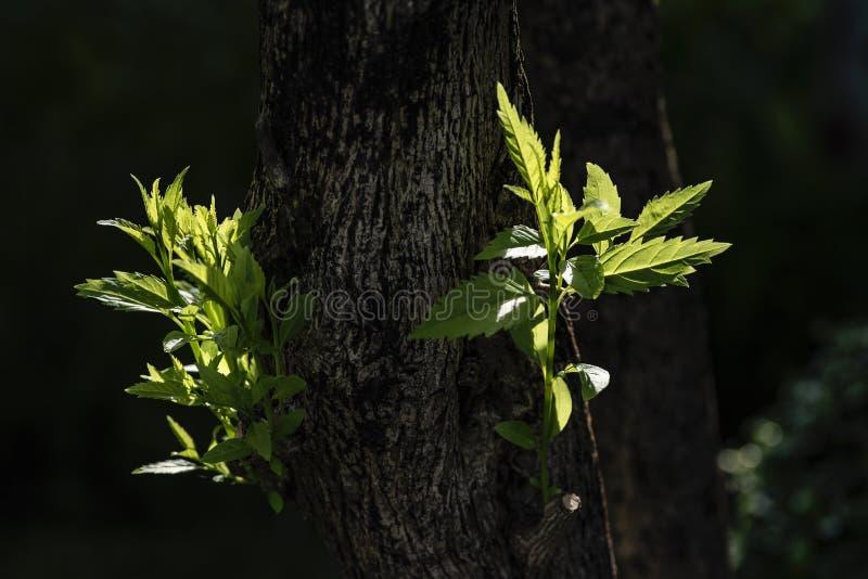 Zonneschijn langzaam verdwijnende schaduwen met de jonge bladerengroei omhoog in boom stock fotografie