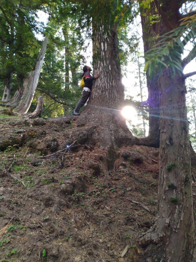 Zonneschijn tussen de bosbomen stock afbeelding