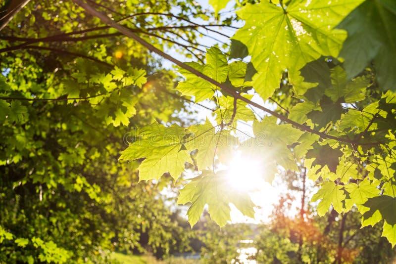 Zonnestraal die door groene esdoornbladeren glanzen in de middag royalty-vrije stock fotografie