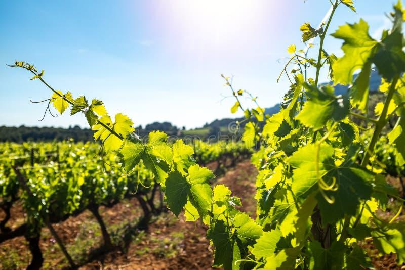 Zonnestraal die gezonde groene wijngaardbladeren verlichten royalty-vrije stock afbeeldingen