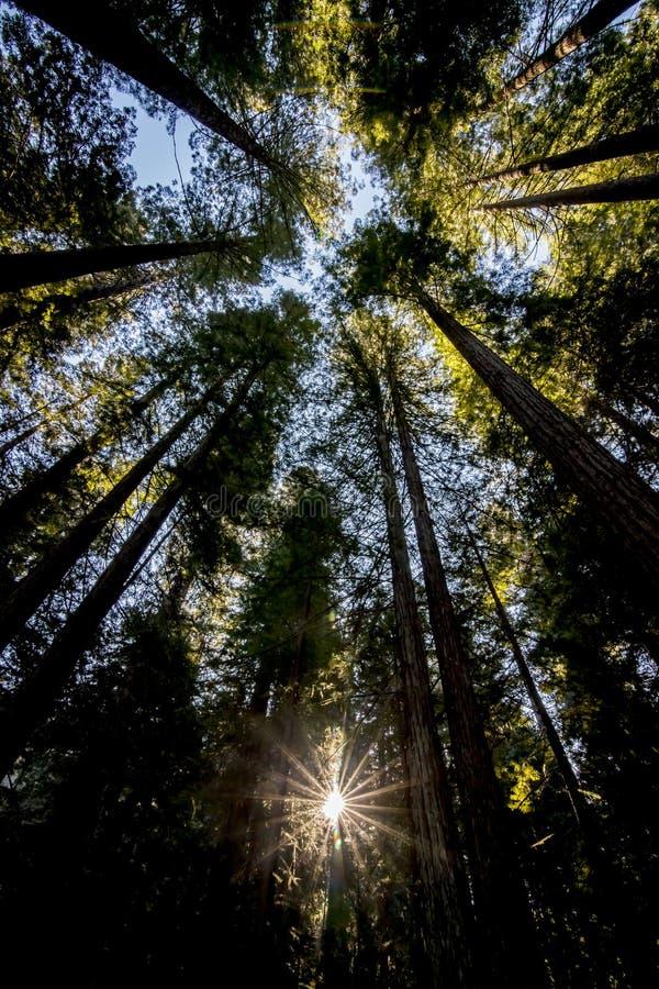 Zonnestraal die omhoog door Californische sequoiabomen kijken royalty-vrije stock afbeelding