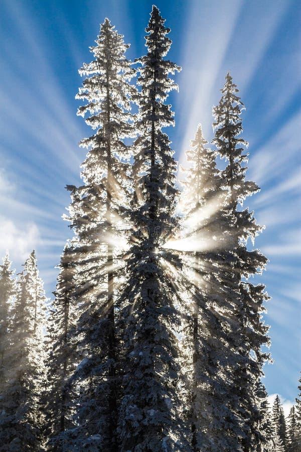 Zonnestralen achter sneeuw behandelde bomen royalty-vrije stock foto
