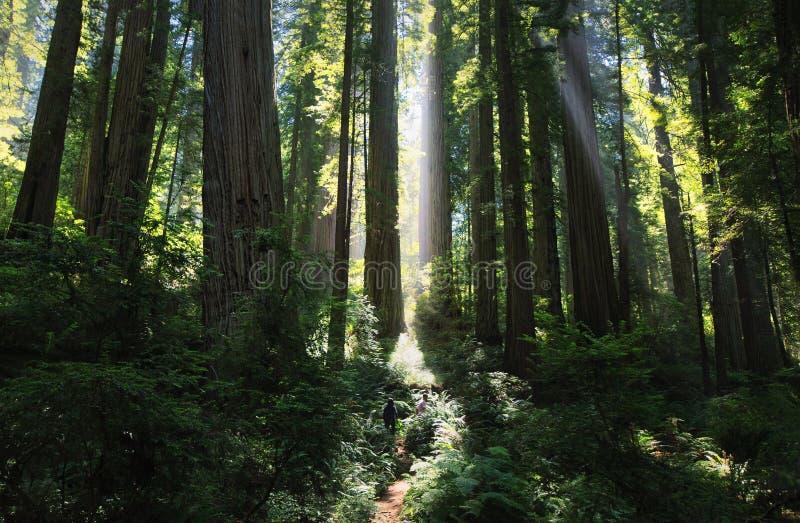 Zonnestralen in een prachtig Californische sequoiabos royalty-vrije stock afbeeldingen