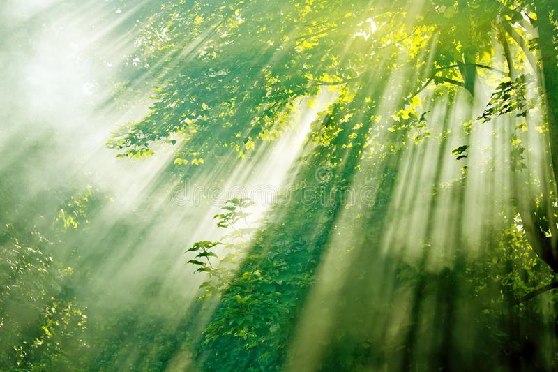 Zonnestralen in nevelig bos royalty-vrije stock foto
