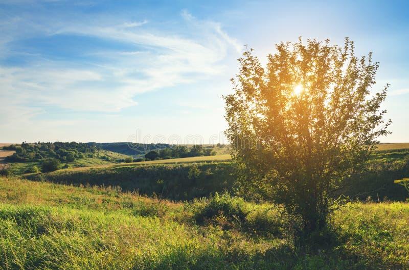 Zonnig de zomerlandschap met eenzame het groeien boom stock foto's