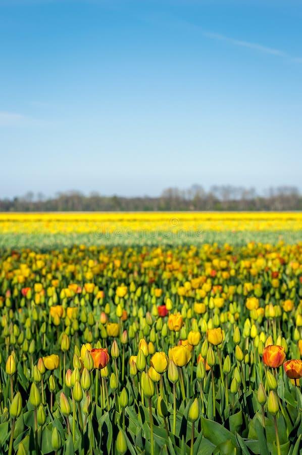 Zonnig gebied met multi gekleurde bloeiende tulpenbollen royalty-vrije stock afbeelding