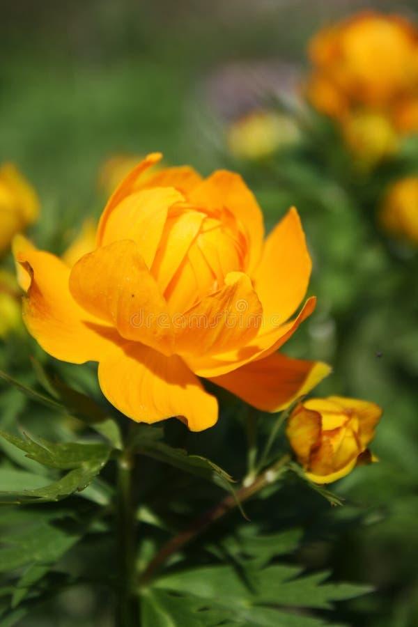 Zonnige bloem. stock foto's